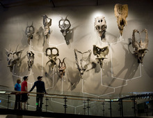 Steve Griffin  |  The Salt Lake Tribune   People stop to look at a wall of horned dinosaur skulls in the new Natural History Museum of Utah in Salt Lake City, Utah Saturday, November 5, 2011.