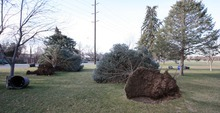 Steve Griffin  |  The Salt Lake Tribune High winds downed pine trees at Sunnyside Park in Salt Lake City on Thursday.