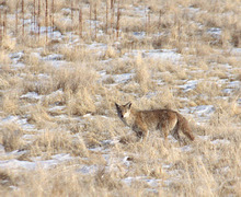 Tribune file photo A coyote wanders around Antelope Island looking for some grub.