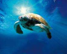 Courtesy Hannover House A loggerhead turtle, shown on its improbable migration around the Atlantic Ocean, in the documentary
