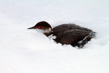 Utah Division of Wildlife Services, Lynn Chamberlain  |  The Associated Press  In this photo provided by Utah Division of Wildlife Services, a surviving grebe huddles in the snow Tuesday after thousands of the birds crash landed throughout southern Utah on Monday night.