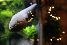 Francisco Kjolseth  |  The Salt Lake Tribune The Living Planet Aquarium is shocking visitors with its Christmas display which uses an Electric eel to flash the lights on its tree. The