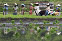 Farmers plant rice on a field in Indrapuri, Aceh province, Indonesia, Friday, Dec. 23, 2011. (AP Photo/Heri Juanda)