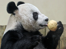 Tian Tian licks her 'panda cake' in her enclosure at Edinburgh Zoo in Scotland, on Christmas Day, Sunday Dec. 25, 2011.  The United Kingdom's only pair of giant pandas were treated to an extra helping of panda cake on Christmas morning to celebrate their first Christmas in Scotland. Yang Guang and Tian Tian - or Sunshine and Sweetie - have been getting used to their new home in Edinburgh Zoo since arriving from China on Sunday Dec. 4 2011. (AP Photo / Andrew Milligan/PA)   UNITED KINGDOM OUT, NO SALES, NO ARCHIVE