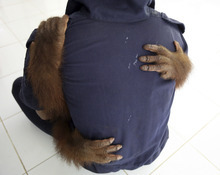 In this Wednesday, Dec. 28, 2011 photo, Marvel, a 4-year-old orangutan whose left leg had to be amputated due to the infections of the open wounds from where he had been chained up when he was kept as a pet, is carried by a keeper at a Sumatran Orangutan Conservation Programme (SOCP) facility in Batu Mbelin, North Sumatra, Indonesia. Indonesia has lost half of its rain forests in the last half century putting the remaining 50,000 to 60,000 orangutans live in scattered, degraded forests in frequent, and often deadly, conflict with humans. (AP Photo/Binsar Bakkara)