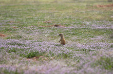 Utah prairie dog in Cedar City lot on 04/05/07.--HAVNES PHOTO