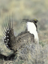 Gary Kramer  |  AP file photo Utah is scrambling to pass a conservation plan and take control of sage grouse protection rules before federal guidelines for the potentially endangered bird start harming industry.