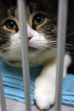 Francisco Kjolseth  |  The Salt Lake Tribune Sam the cat looks up from its cage at the Salt Lake County Animal Shelter on Thursday, as it waits to be adopted. Some animal advocates are asking the West Valley-Taylorsville Animal Shelter to cease use of the gas chamber and set a goal of becoming a no-kill facility. They point to the Salt Lake County Animal Shelter as an example. That shelter offers discount adoptions, works with rescue groups and has longer animal holding times.