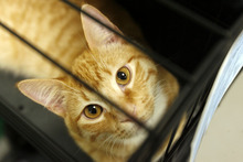 Francisco Kjolseth  |  The Salt Lake Tribune Hank the cat looks up from its cage at the Salt Lake County Animal Shelter on Thursday as it waits to be adopted. Some animal advocates are asking the West Valley-Taylorsville Animal Shelter to cease use of the gas chamber and set a goal of becoming a no-kill facility. They point to the Salt Lake County Animal Shelter as an example. That shelter offers discount adoptions, works with rescue groups and has longer animal holding times.