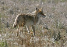 Tribune file photo A coyote on Antelope Island. Coyotes are found throughout the United States and have been vigorously hunted for over a century. Yet their populations continue to expand.
