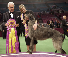 file  |  The Associated Press Scottish deerhound Hickory poses for photographers with his handler Angela Lloyd, right, and judge Paolo Dondina after Hickory won best in show during  the 135th Westminster Kennel Club Dog Show at Madison Square Garden in New York.