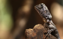 A two-week old Frill-necked lizard basks on a rock in his enclosure at Wild Life Park Sydney at Darling Harbour in Sydney, Australia,  Wednesday, Feb. 15, 2012. (Photo/Rob Griffith)
