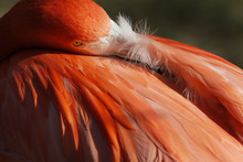 A Caribbean flamingo puts its beak under its wing in the spring-like weather at the Philadelphia Zoo Thursday, Feb. 23, 2012 in Philadelphia. The Philadelphia Zoo is one of America's oldest, opening to the public in 1874. Flamingo's pink color comes from the carotenoids in their food. Without these, the flamingo's feathers would be white. At the zoo, they eat scientifically formulated commercial flamingo feed that keeps their feathers pink. (AP Photo/Alex Brandon)