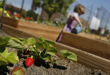 Scott Sommerdorf  |  The Salt Lake Tribune A strawberry plant is yielding some fruit in one member's raised bed, Saturday, July 2, 2011. Volunteers created the Sugar House Community Garden on top of the temporarily disused Fairmont Park Tennis Courts.