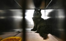 Paul Fraughton | The Salt Lake Tribune A ferrel cat hides at the back of its cage at the South Salt Lake Animal Shelter on Wednesday, Feb. 29, 2012.