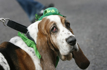 Scott Sommerdorf  |  Tribune file photo A member of the rescued Bassett hound contingent takes a walk at the 2011 St. Patrick's Day Parade. This year's parade begins 10 a.m. Saturday at The Gateway.