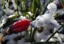 Al Hartmann     The Salt Lake Tribune Brrr.... It's Spring......A tulip and miniature Iris pokes through the snow from last nights snow storm in a Sugarhouse garden Tuesday morning.   Tuesday, March 20, 2012, at 1:14 a.m. EDT marks the vernal equinox, and official start of spring.