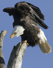 FILE  - This Jan. 1, 2005 file photo shows a bald eagle stretching its wings near Lake Meridian in Kent, Wash.  A federal government decision to allow a Wyoming tribe to kill two bald eagles for a religious ceremony is a victory for American Indian sovereignty as well as for long-suppressed religious freedoms, the Northern Arapaho Tribe says.(AP Photo/King County Journal, John Froschauer, File) SEATTLE TIMES OUT; NO SALES