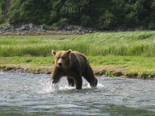 Roger Murphy sent in this picture he snapped during a trip to Katmai National Park in Alaska in 2008. Murphy said there were plenty of bear and numerous close encounters, but