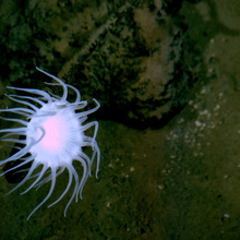 The flat bottom of the Mariana Trench. This image of a stalked anemone on rocks on the edge, but not quite on the bottom of the deepest place on Earth, where director/explorer James Cameron will be diving soon in a one-man sub. Earth's lost frontier is about to be explored firsthand after more than half a century. (AP Photo/Tim Shank, Woods Hole Oceanographic Institution)