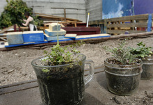 Scott Sommerdorf  |  The Salt Lake Tribune              Some of the small plants waiting to be put into the raised beds that Occupy SLC is building behind the One World Cafe, Friday, March 23, 2012. Occupiers have started a community garden behind the Cafe to help contribute fresh food.