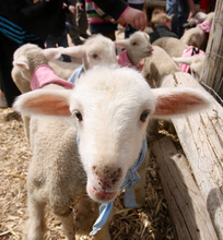 Steve Griffin | The Salt Lake Tribune  Goats, pigs and lambs mix with people outside the baby animal barn at This Is the Place Heritage Park in Salt Lake City on Thursday, April 5, 2012. The baby animal season kicked off Thursday and will run through Saturday at the park.