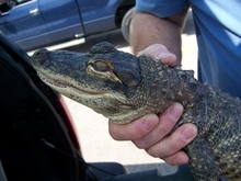 Kennett Humane Department  |  The Associated Press In this photo provided by the Kennett Humane Department, Steve Brown, president of the St. Louis Herpetological Society, holds a young alligator last week in Cape Girardeau, Mo.
