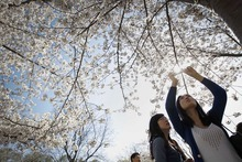 A tourist takes pictures of blooming cherry blossoms at Yu Yuan Tan Park in Beijing Sunday, April 8, 2012.  (AP Photo/ Vincent Thian)