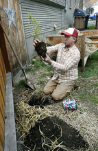 Scott Sommerdorf  |  The Salt Lake Tribune              Salt Lake City resident Chris Gleason plants a blueberry bush at his Salt Lake City home on March 25, 2012.