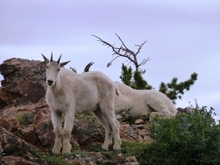 Goats in Little Cottonwood Canyon. Credit: Charlie Hussey