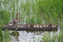 Ducks at a family ranch in Montana, two miles from Kalispell. Courtesy Todd Wirthlin