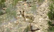 Pup at the Strawberry Pinnacles on the Strawberry River. Credit: John Diehl