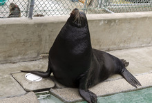 Big Guy, a blind sea lion, is seen at the California's Marine Mammal Care Center in Los Angeles, on Friday, April 20, 2012. Big Guy is headed to the Hogle Zoo in Utah, where he will share a new $18 million habitat called Rocky Shores with sealife, bears and eagles. Officials at Marine Mammal Care Center spent a few months patching him up and two years trying to find a home for Big Guy. (AP Photo/Damian Dovarganes)