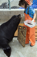 Lori Olson, Husbandry Manager at Marine Mammal Care Center, feeds herring fish to Big Guy, a blind sea lion in Los Angeles, on Friday, April 20, 2012. Big Guy is headed to the  Hogle Zoo in Utah, where he will share a new $18 million habitat called Rocky Shores with sealife, bears and eagles. Officials have spent a few months patching him up and two years trying to find a home for Big Guy. The 750-pound sea lion has spent more time and eaten more food than any other animal ever treated at the center. (AP Photo/Damian Dovarganes)