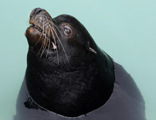 Big Guy, a blind sea lion, is seen at the California's Marine Mammal Care Center in Los Angeles, on Friday, April 20, 2012. Big Guy is headed to  Hogle Zoo in Utah, where he will share a new $18 million habitat called Rocky Shores with sealife, bears and eagles. Officials at Marine Mammal Care Center spent a few months patching him up and two years trying to find a home for Big Guy. The 750-pound sea lion has spent more time and eaten more food than any other animal ever treated at the center. (AP Photo/Damian Dovarganes)