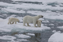 A mother polar bear protects her two cubs from the dangers around them, in a scene from the IMAX 3-D documentary