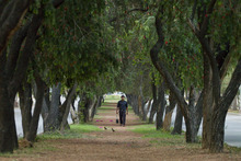A Pakistani walks through the arch of trees on the midsection of a road as he heads back home in Islamabad, Pakistan on Monday, April 23, 2012. (AP Photo/Anjum Naveed)