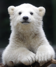 Polar bear cub Anori explores the outdoor enclosure at the zoo in Wuppertal, Germany, on Monday, April 23, 2012. Anori was born on January 4 and is becoming a visitor's highlight. (AP Photo/Frank Augstein)