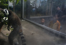 North Korean children watch a ring-tailed lemur at a zoo in Pyongyang, North Korea Thursday, April 26, 2012.  (AP Photo/Vincent Yu)