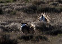 Rick Egan  | The Salt Lake Tribune   Gunnison sage grouse strut on a lek near Monticello, Utah, March 31, 2012.