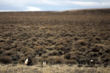 Rick Egan  | The Salt Lake Tribune   A male greater sage grouse does his strut display on a lek near Green River, Wyo., Wednesday, March 21, 2012.
