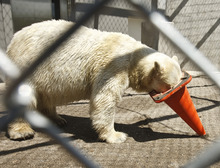 Leah Hogsten  |  The Salt Lake Tribune Hogle Zoo's latest addition is Rizzo, a 14-year-old female polar bear from Cincinnati, OH Wednesday, May 2 2012 in Salt Lake City who loves to swim and put her head in objects. The public will be invited to meet and greet Rizzo, June 1, 2012 along with grizzly bears, seals, seal lions, river otters and bald eagles as part of Hogle Zoo's new $18Million Rocky Shores expansion.