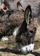 Steve Griffin  |  The Salt Lake Tribune Burro 4217 is one of the 30 wild burros that the Bureau of Land Management has available for adoption at the Salt Lake Wild Horse & Burro Facility in Herriman. The burros can be adopted for $125 apiece during the auction, which runs May 11 and 12 and also May 16-19.