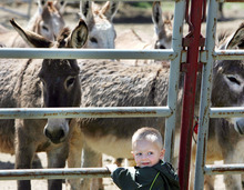 Steve Griffin  |  The Salt Lake Tribune Two-year-old Jaxton Smith looks back at his mom as he gets a close look at some of the 30 wild burros that the Bureau of Land Management has up for adoption at the Salt Lake Wild Horse & Burro Facility in Herriman on Friday. The burros can be adopted for $125 apiece during the auction, which runs May 11 and 12 and also May 16-19. Jaxton's grandmother, Diane Smith, of Eagle Mountain, is planing on adopting two of the burros.