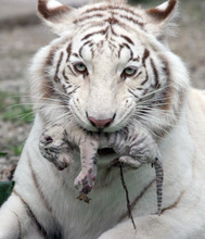 In this handout photo provided by Skazka Zoo, taken May 6, 2012, a female white albino tiger, Tigrylia  is seen with her newborn cub at  the Skazka Zoo in Yalta, Ukraine.  Tiger gave birth to four cubs, including a rare albino tiger. A beautiful white tigress was the symbol of Yulia Tymoshenko's presidential election campaign, representing her ferocious resolve. (AP Photo/Skazka Zoo)