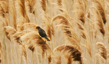 Steve Griffin  |  The Salt Lake Tribune A female yellow-headed blackbird perches in the wetland grasses near the Great Salt Lake Marina on April 30, 2012. The Great Salt Lake Bird Festival is May 17-21.