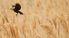 Steve Griffin  |  The Salt Lake Tribune A yellow-headed blackbird flies above the wetland grasses near the Great Salt Lake Marina on April 30, 2012. The Great Salt Lake Bird Festival is May 17-21.