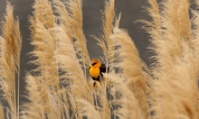 Steve Griffin  |  The Salt Lake Tribune A yellow-headed blackbird perches in the wetland grasses near the Great Salt Lake Marina on April 30, 2012. The Great Salt Lake Bird Festival is May 17-21.