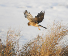 Paul Fraughton  |  Tribune file photo A hawk hunts for its prey along the shore line near the causeway to Antelope Island earlier this year.