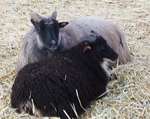 The annual Lamb & Wool Festival is Saturday, March 19, at Thanksgiving Point.